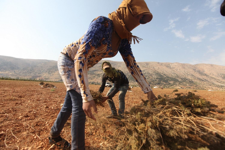 ملاحظات حول إقتراح تشريع زراعة القنب في لبنان: الإستهلاك لا يزال مجرّما وتشريع الزراعة يعزز المحاصصة والإستنسابية